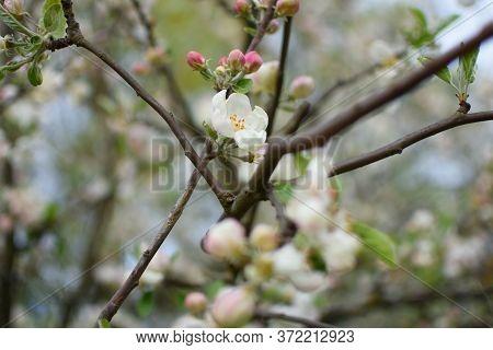 Blooming Apple Tree In Spring. Beautiful Branch Of Blossoming Apple Tree. Closeup Of Apple Tree Flow