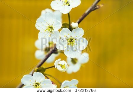 White Apple Flowers On The Yellow Background, Close Up