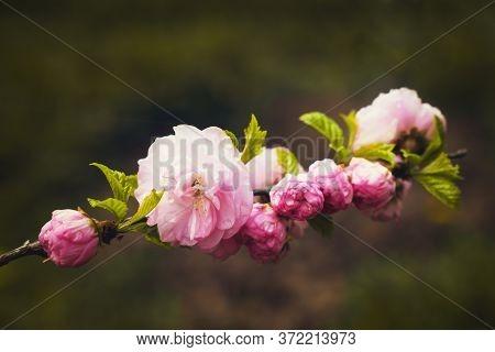 Pink Flowers On The Branch, Dark Background