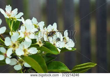 White Apple Tree Flowers And The Small Bee