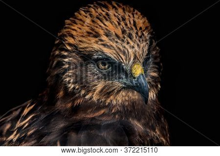 Portrait Of Red Tailed Hawk Isolated On Black Background