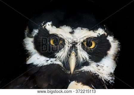 Close-up Portrait Of Spectacled Owl Isolated On Black Background