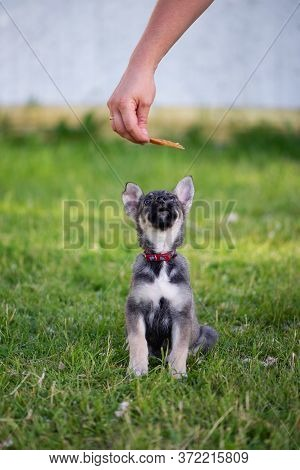 Cute Gray Puppy With Big Ears Reaches For Food. Hand Holds Dog A Piece Of Meat In A Red Collar. Trai