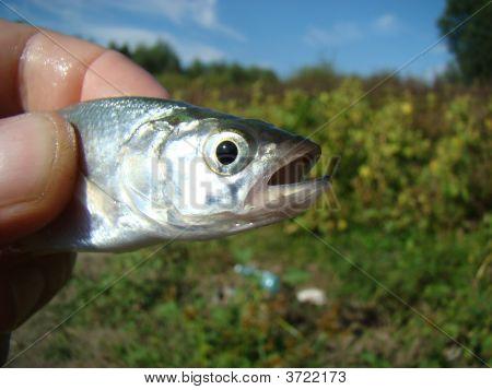 Rapacious Carp (Aspius Aspius)