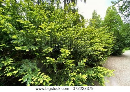 Gardening And Landscaping With Green Decorative Trees And Plants. Branches Of Evergreen Conifers In