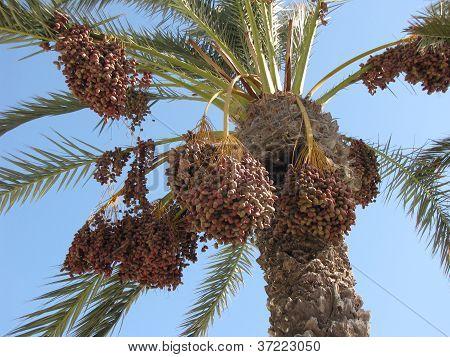 Beautiful And Sweet Palm Tree