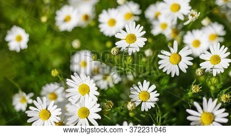 Nature, Plant, Green, Daisy, Yellow, Chamomile Meadow, White, Natural, Background, Flower, Grass, Fl