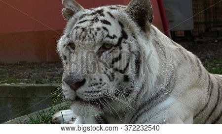 The Majestic White Tiger Watches The Prey Intently