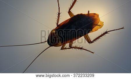 American Cockroach With Light Effects, Periplaneta Americana
