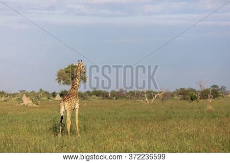 A Single Giraffe Looks Out Over The Landscape Of The Okavango Delta As It Is Lit By The Early Mornin