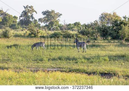 A Pair Of Zebra Look For Food On The Grasslands Of The Okavango Delta.