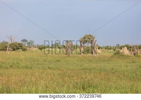 Giraffe Look For Food In The Okavango Delta.