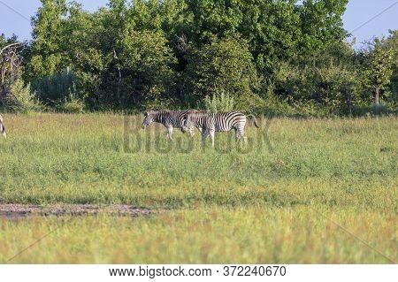 A Pair Of Zebra Grazing In The Grassland Of The Okavango Delta.
