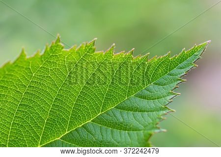 Macro View Of  Serrated Green Leaf  Of Dewberry On Blurred Light  Green Floral Background .  Leaf Wi