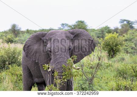 An Adult African Elephant Feeding In Botswana.
