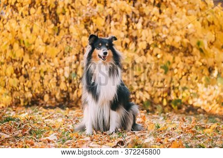 Tricolor Rough Collie, Funny Scottish Collie, Long-haired Collie, English Collie, Lassie Dog Sitting