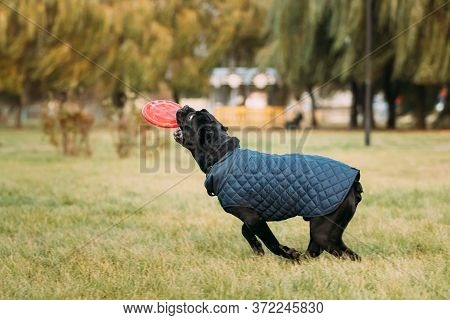 Active Black Cane Corso Dog Play Running With Plate Toy Outdoor In Park. Dog Wears In Warm Clothes.