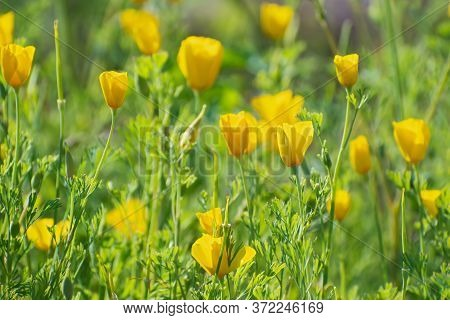 Meadow Of Yellow Californian Poppies Flowers On The Blurred Multicolored Floral Background. Flowerin