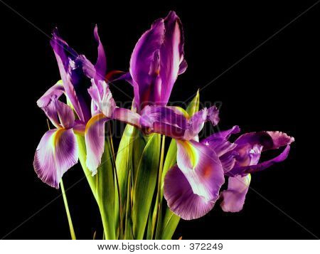 Purple Iris Bunch