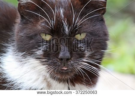 Portrait Of A Cute Tuxedo Cat With White Spots, Looking At The Viewer, Light Wood Wall Background