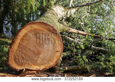 Freshly Cut Poplar Tree With Annual Rings. Close-up Of Round Trunk On River Background. The Texture