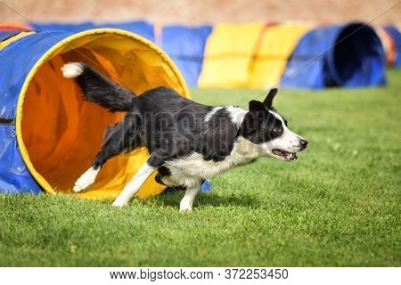 Border Collie In Agility Tunel. Amazing Day On Czech Agility Competition. They Are Middle Expert It