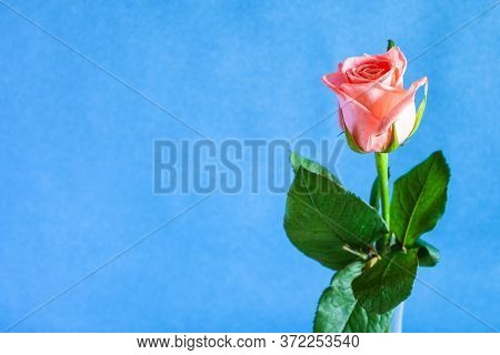 Horizontal Still-life With Copyspace - Single Fresh Pink Rose Flower In Glass Vase With Blue Texture