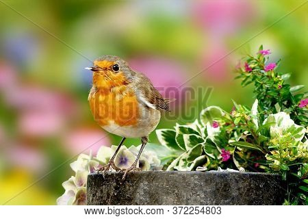 Songbird Redbreast Close-up In A Colorful Garden.