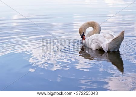 Elegant White Swan On The Lake. A Proud And Noble Bird.