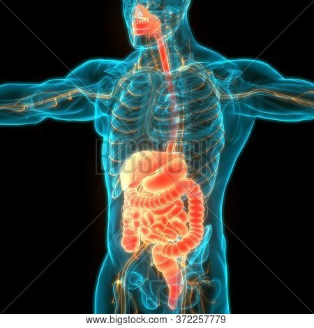3d Illustration Concept Of Human Digestive System Anatomy
