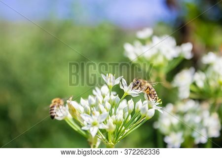 Honey Bee Apis Mellifera On White Flower While Collecting Pollen On The Background Of Another Flying