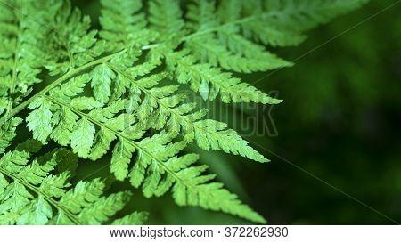 Forest Fern. Close-up. Forest Vegetation Wildlife. Green