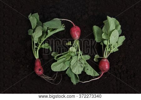 Fresh Garden Radish On The Ground Flat Lay. Gardening Concept. Image Contains Copy Space