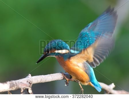 Common Kingfisher, Alcedo Atthis. The Bird Flew To A Branch And Sits On It