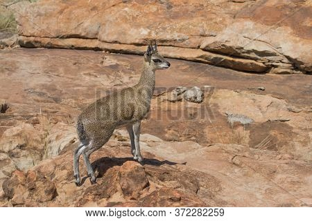 Sturdy Male Klipspringer Closeup Climbing Tiptoe Over Rocks In Mapungubwe National Park, South Afric