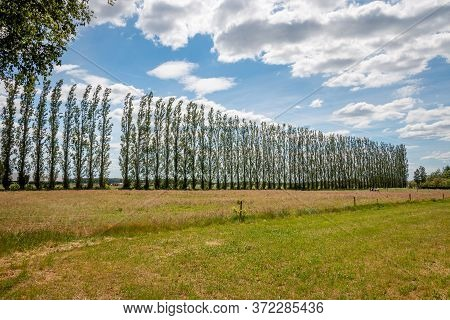 The Poplars Are Lined Up High In The Wind Along The Farmland In The Netherlands, Province Overijssel