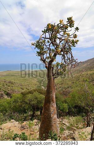 Flowering Bottle Tree Is Endemic Tree Adenium Obesum Of Socotra Island, Yemen. Indean Ocean Shore On