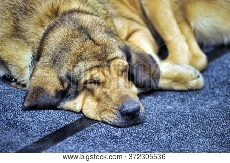 The Irish Mastiff Is A Cross Between An Irish Wolfhound And A Mastiff Purebred. They Are Called Hybr