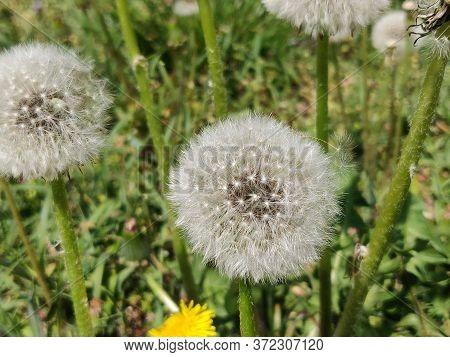 Dandelion Flower In Meadow In The Springtime