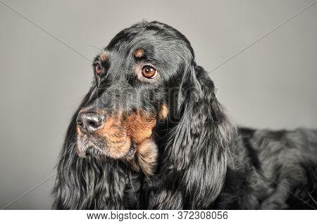 Gordon Setter Dog Sitting, On A White Background