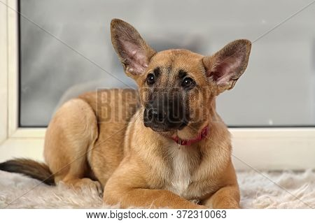 Eared Puppy With An Unhappy Sight