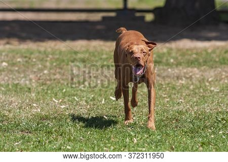 Hungarian Short-haired Pointing Dog - Vizsla - Runs Across The Meadow With Its Mouth Open.