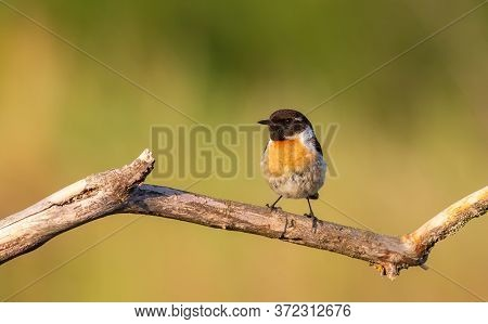 European Stonechat, Saxicola Rubicola. Early In The Morning Bird Male Sitting On A Branch