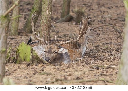 Dama Dama - European Fallow Deer Has Beautiful Antlers And Lies In The Setting Sun In The Woods Amon
