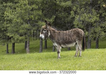 Cute Little Miniature Donkey On The Grassy Field In North Idaho.