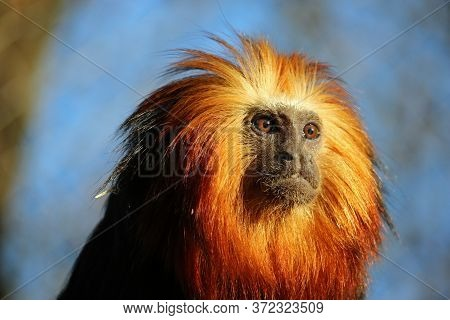 Golden Headed Lion Tamarin, Leontopithecus Chrysomelas, Staring Into The Distance With A Background