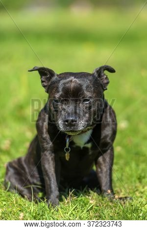 English Staffordshire Bull Terrier On Green Grass Background
