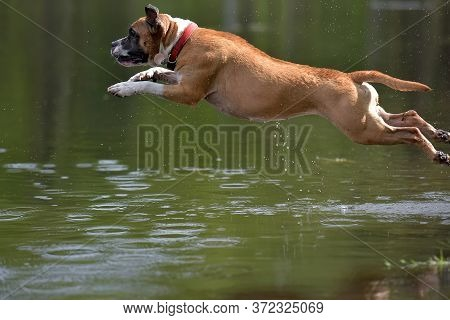 American Staffordshire Terrier Jumping Water  In Summer In Park