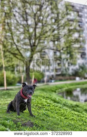English Staffordshire Bull Terrier Five Years Old