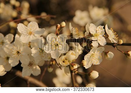 Tree Branch With White Blossoming And Unfolding Buds On The Natural Bright Blurred Background